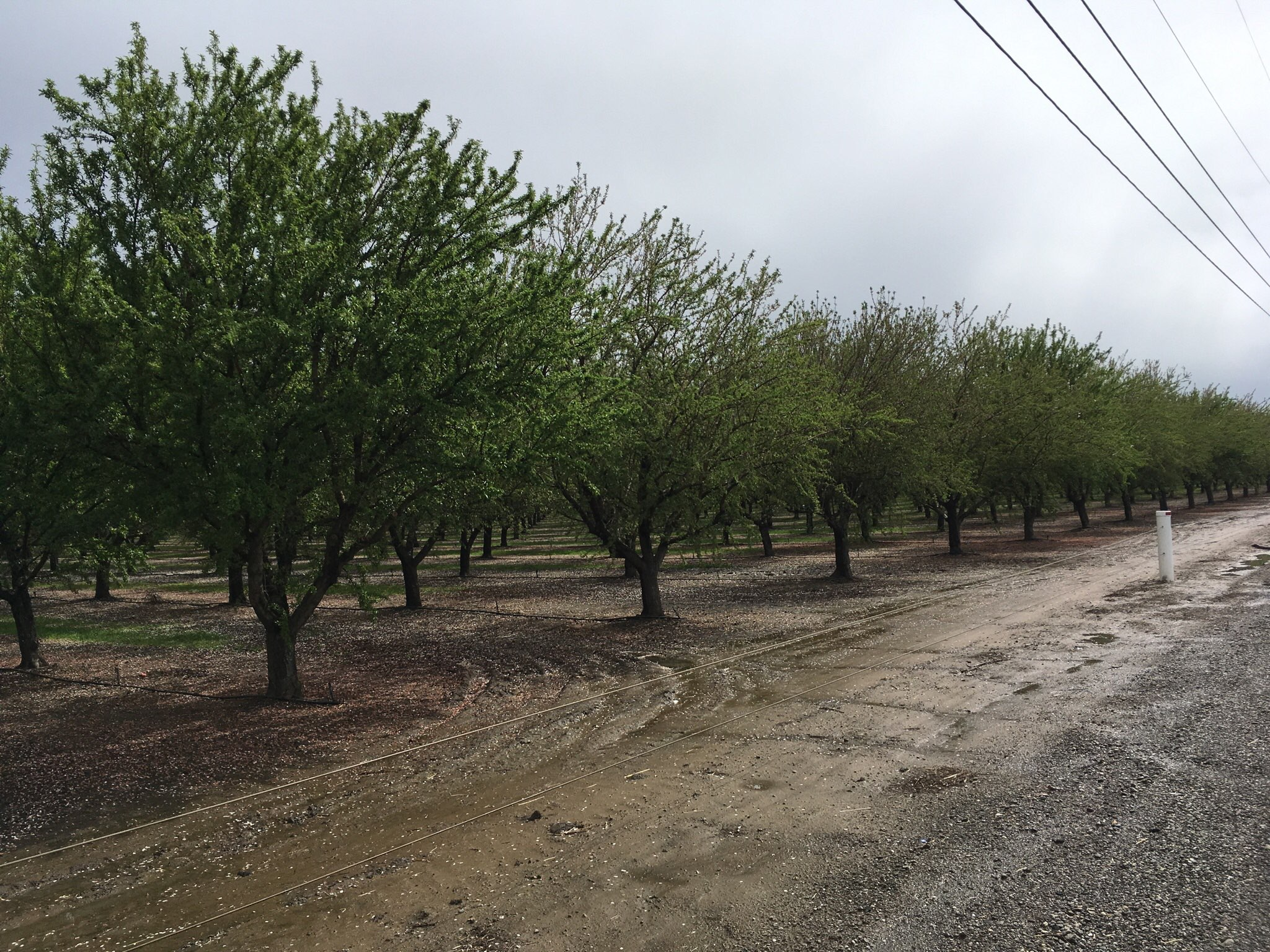Almond Acres in California is increasing again