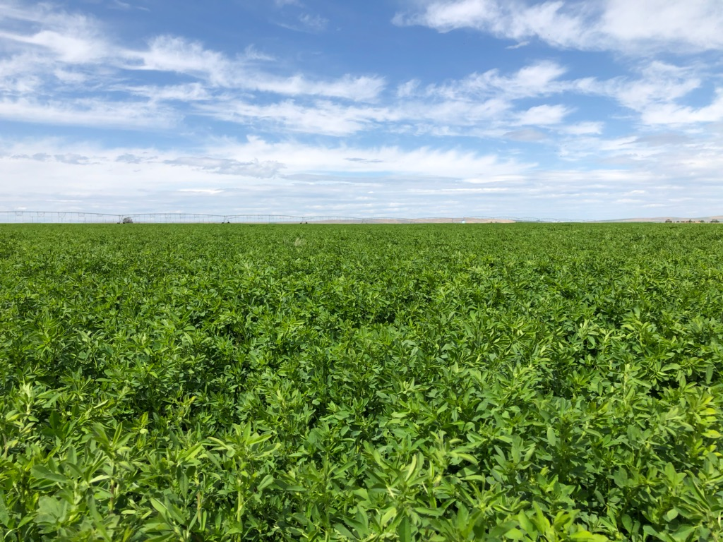 Alfalfa 1st cutting in Washington