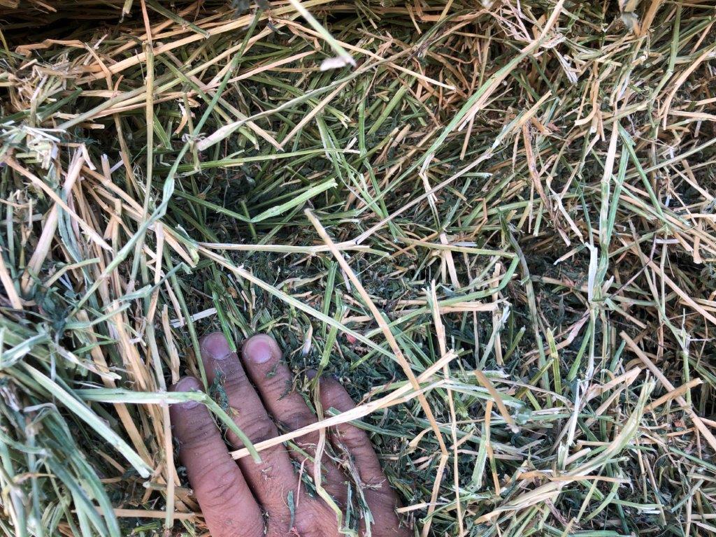 2nd Alfalfa in Washington 第二割刈苜蓿
